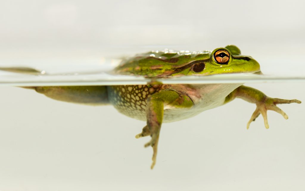 Froggie split level: A Green and Golden Bell frog takes stock. Photo: Crispin Middleton.