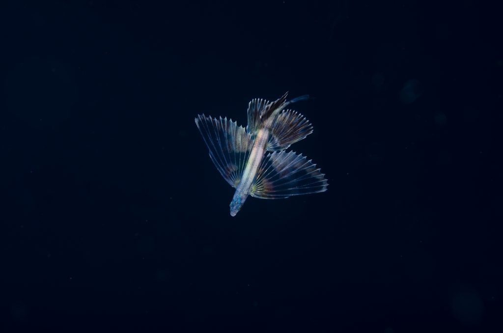 Underwater angel: Flying fish near the Poor Knights Marine Reserve. Photo: Crispin Middleton.