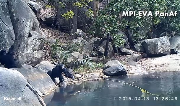 Featured image: The 'fishing' chimps of Bakoun