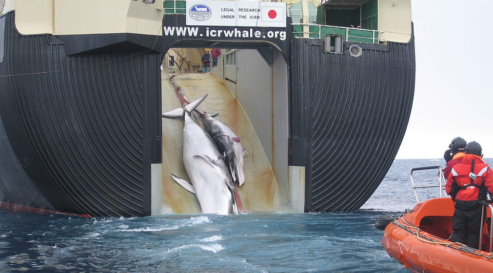 Featured image: Murky waters: why is Japan still whaling in the Southern Ocean?