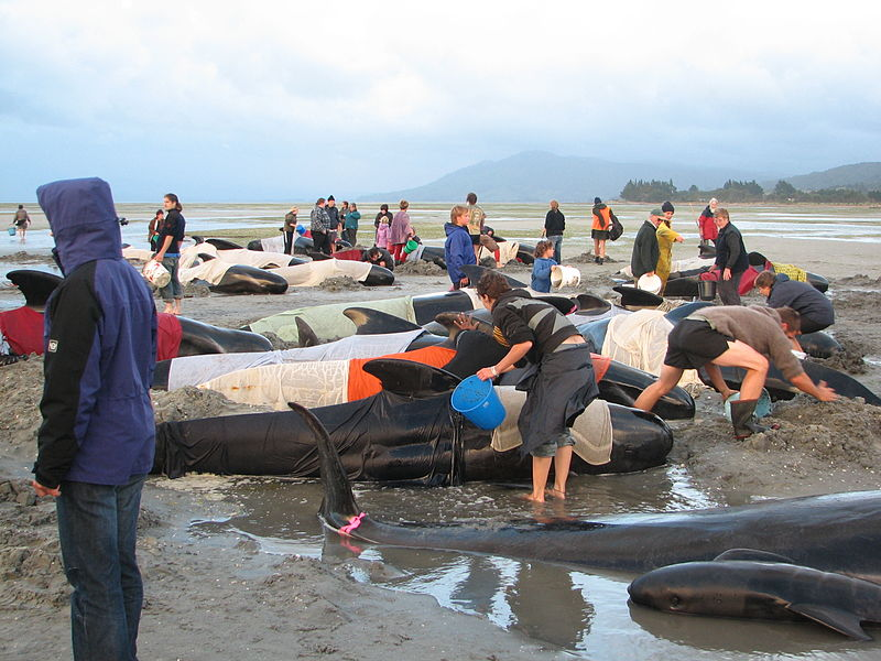 Featured image: What causes whale mass strandings?