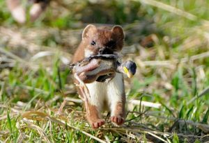 A stoat not engaged in rabbit control