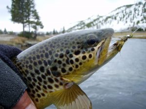Featured image: Celebrating our 'Kiwi' Trout