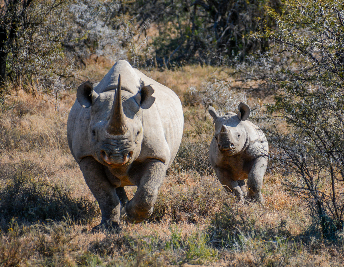 Image: Rhinos can correct gender imbalance in the wild