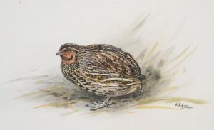 Do we need a third species of quail in New Zealand