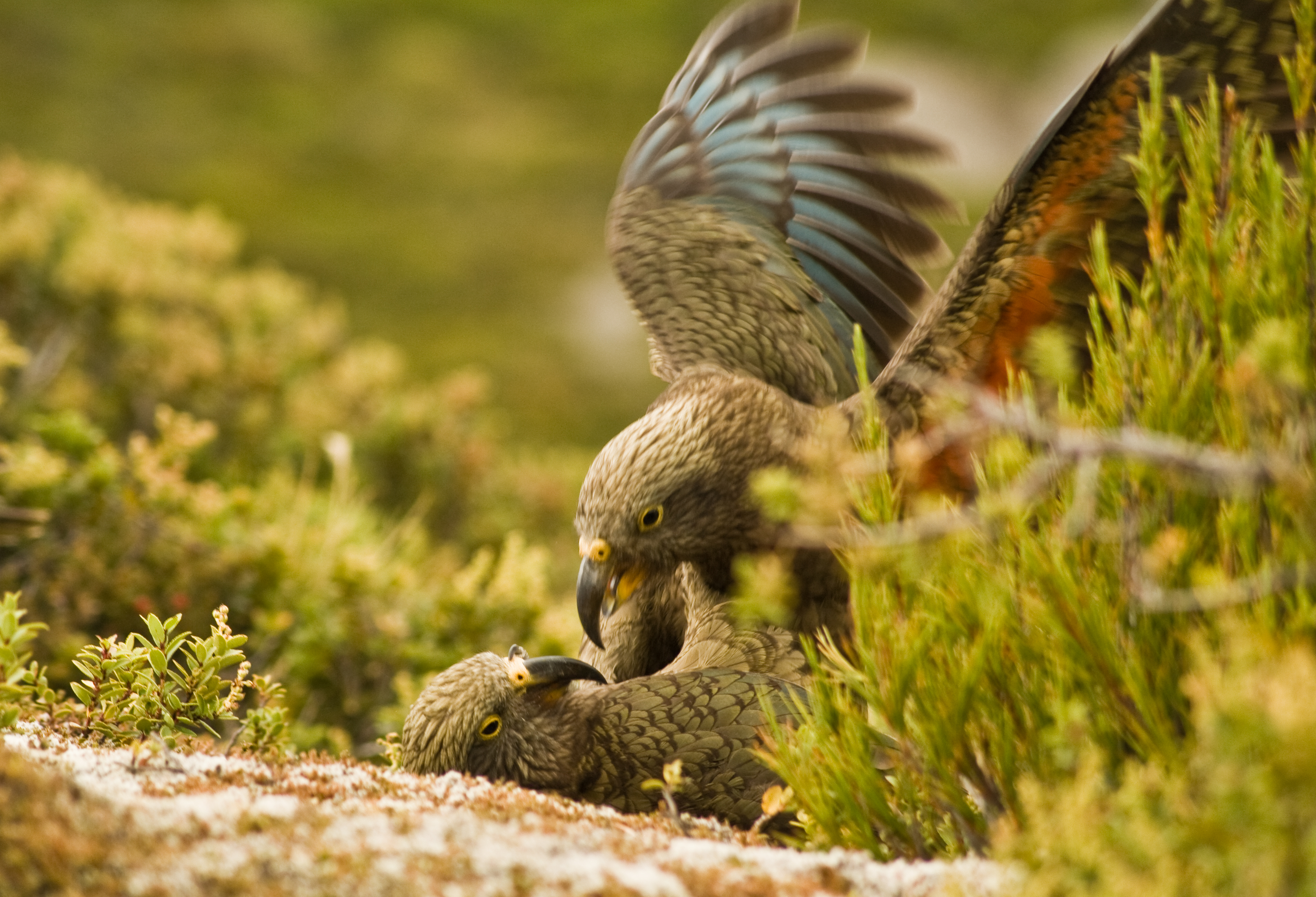 Image: What a hoot! Cheeky kea 'laughter' sets off playful antics