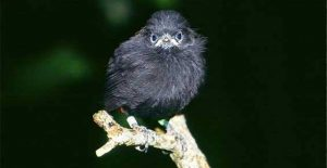 Chatham Island black robins suffer from inbreeding depression
