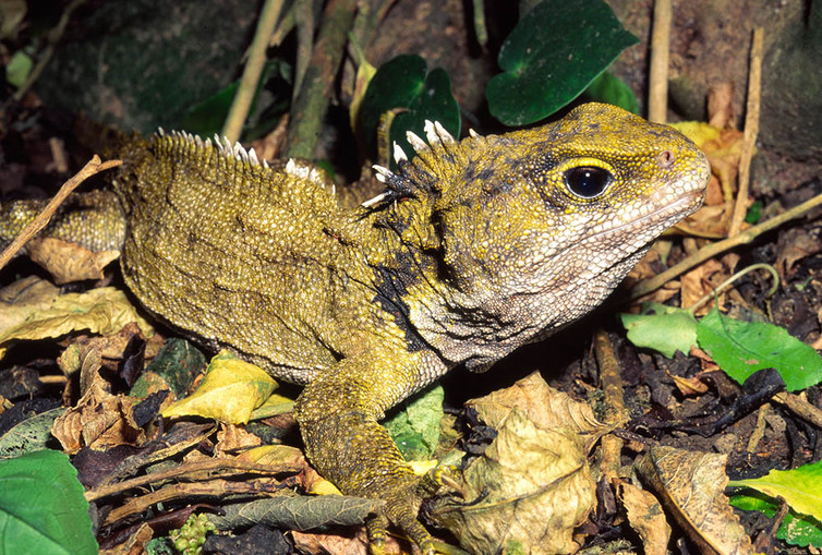 Image: Not a lizard nor a dinosaur, tuatara is the sole survivor of a once-widespread reptile group