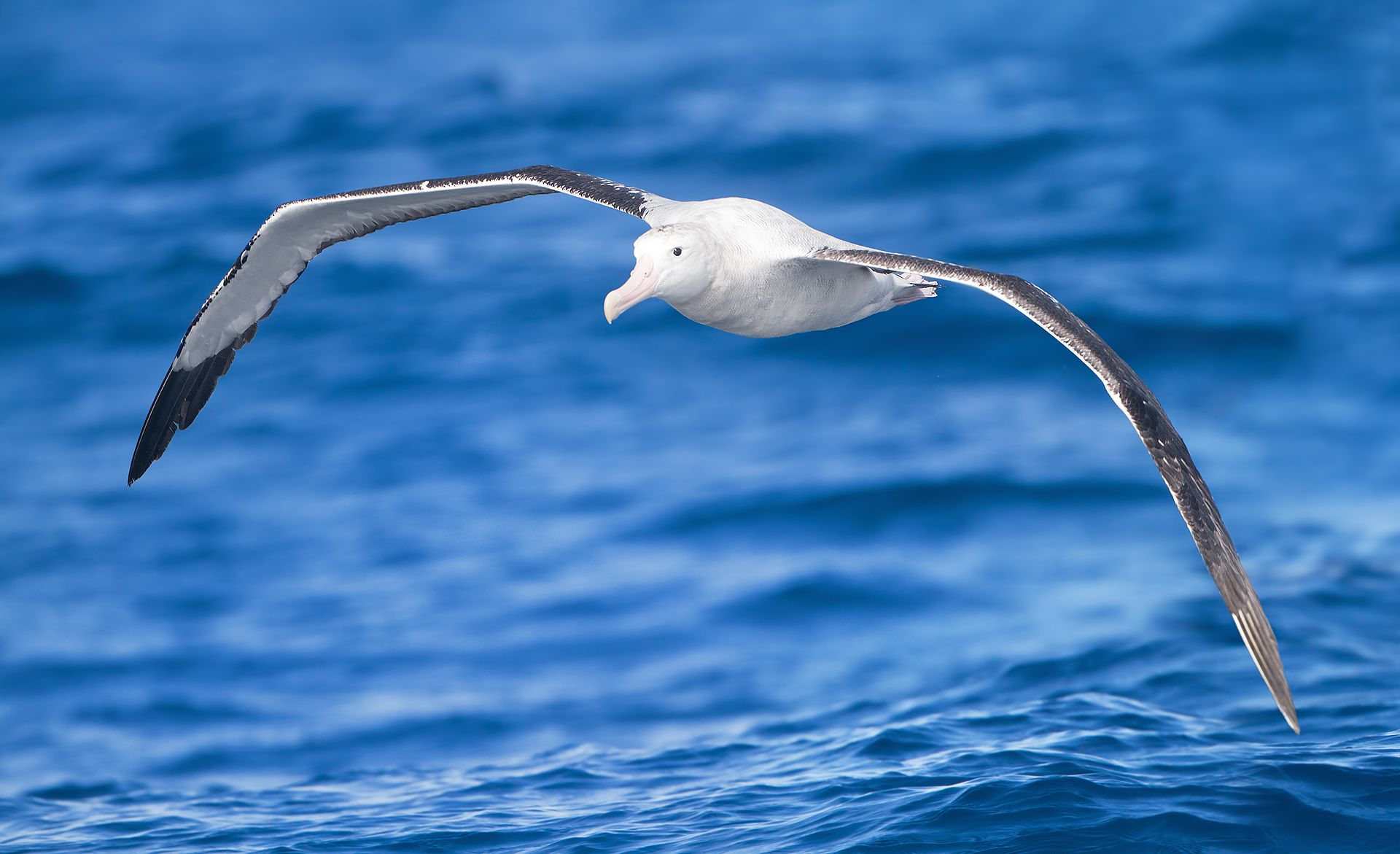 Featured image: Radar-sensing albatrosses could become 'patrollers of the Southern Ocean'