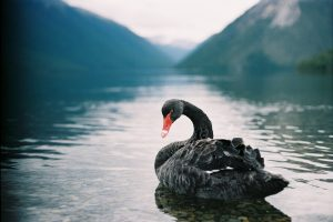Featured image: Poūwa: NZ's ill-fated black swan
