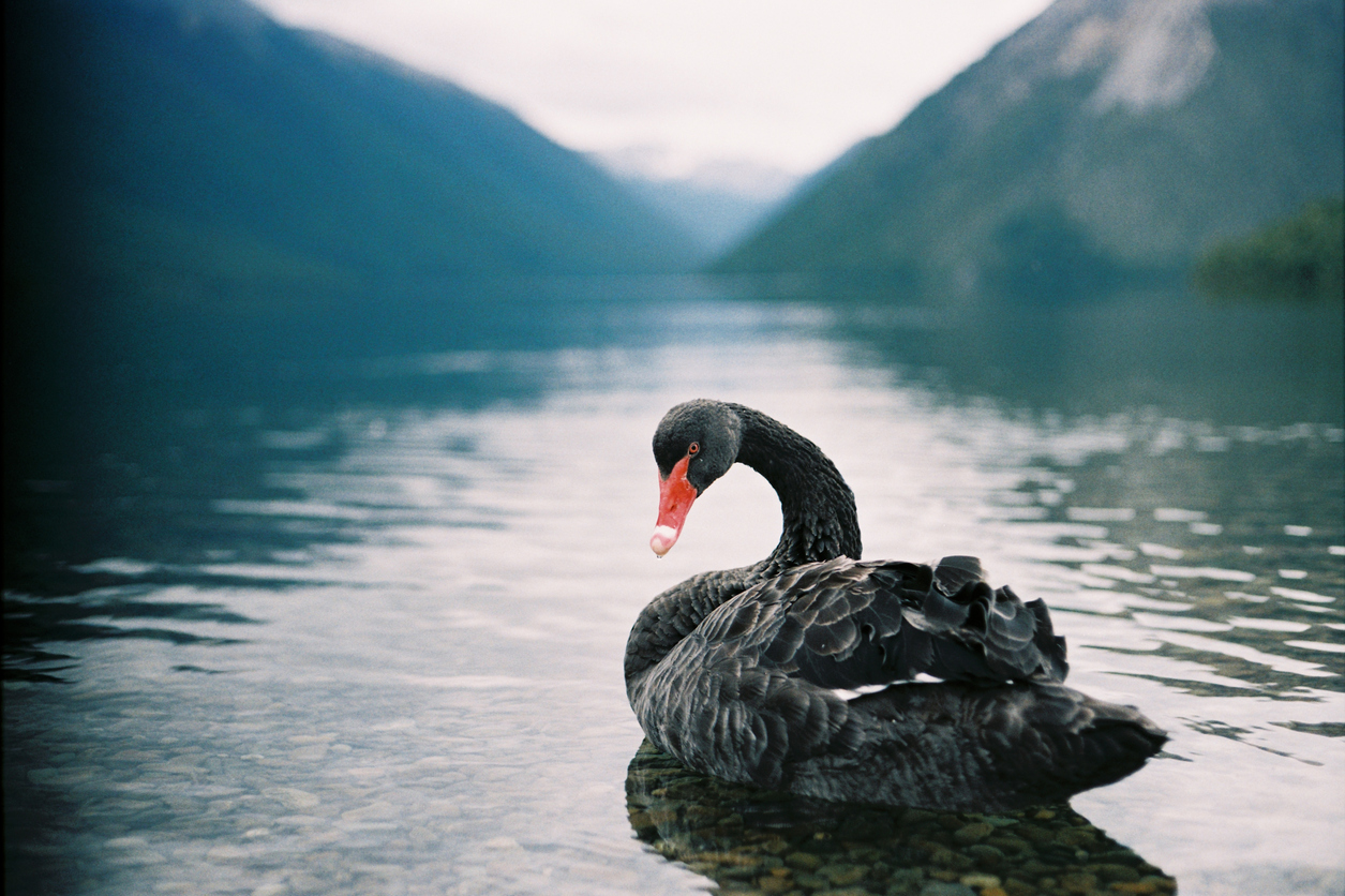 Featured image: Introducing the Poūwa: New Zealand's unique and ill-fated black swan