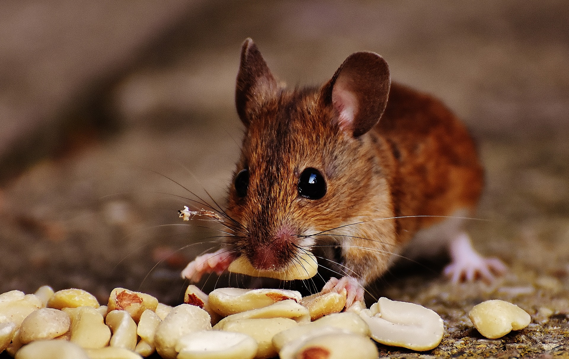 Featured image: Mice lacking a sense of smell stay thin