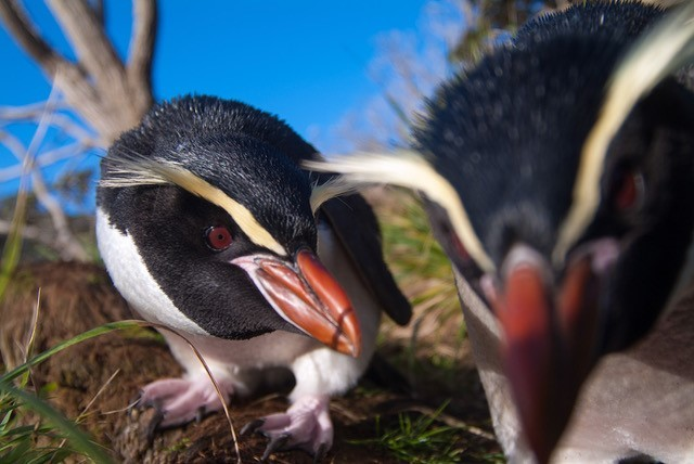 Image: Ancient DNA giveth and ancient DNA taketh away: The penguin that never was