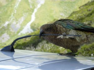 A kea digs into a tasty bit of car