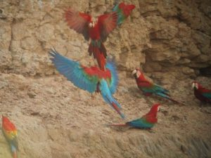 Macaws eating clay to get sodium and neutralise toxins