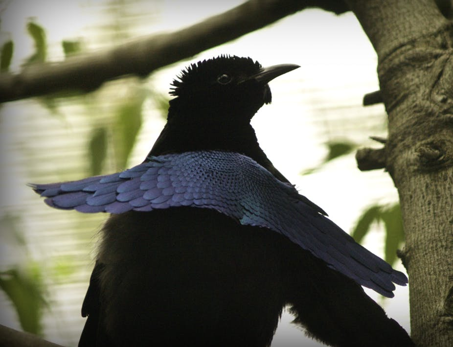 Featured image: Super-black feathers can absorb virtually every photon of light that hits them