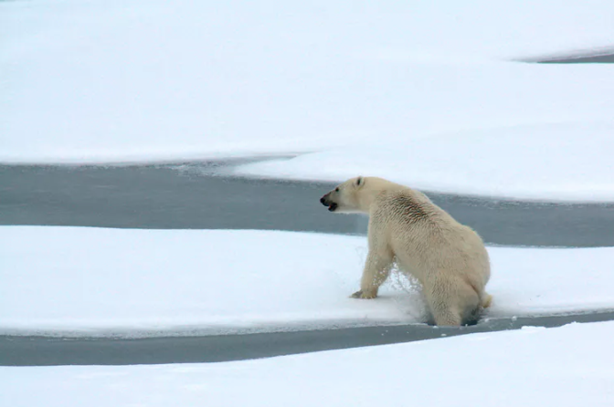 Featured image: As Arctic sea ice shrinks, new research shows how much energy polar bears use to find food