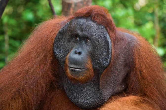 Featured image: We surveyed Borneo's orangutans and found 100,000 had 'disappeared'