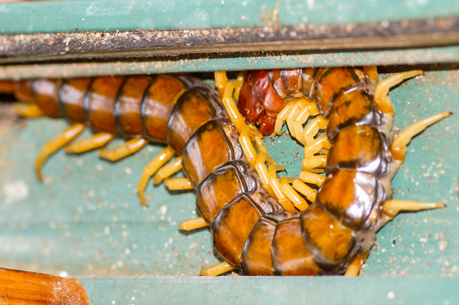 Featured image: Our secret urban wildlife: Giant centipedes