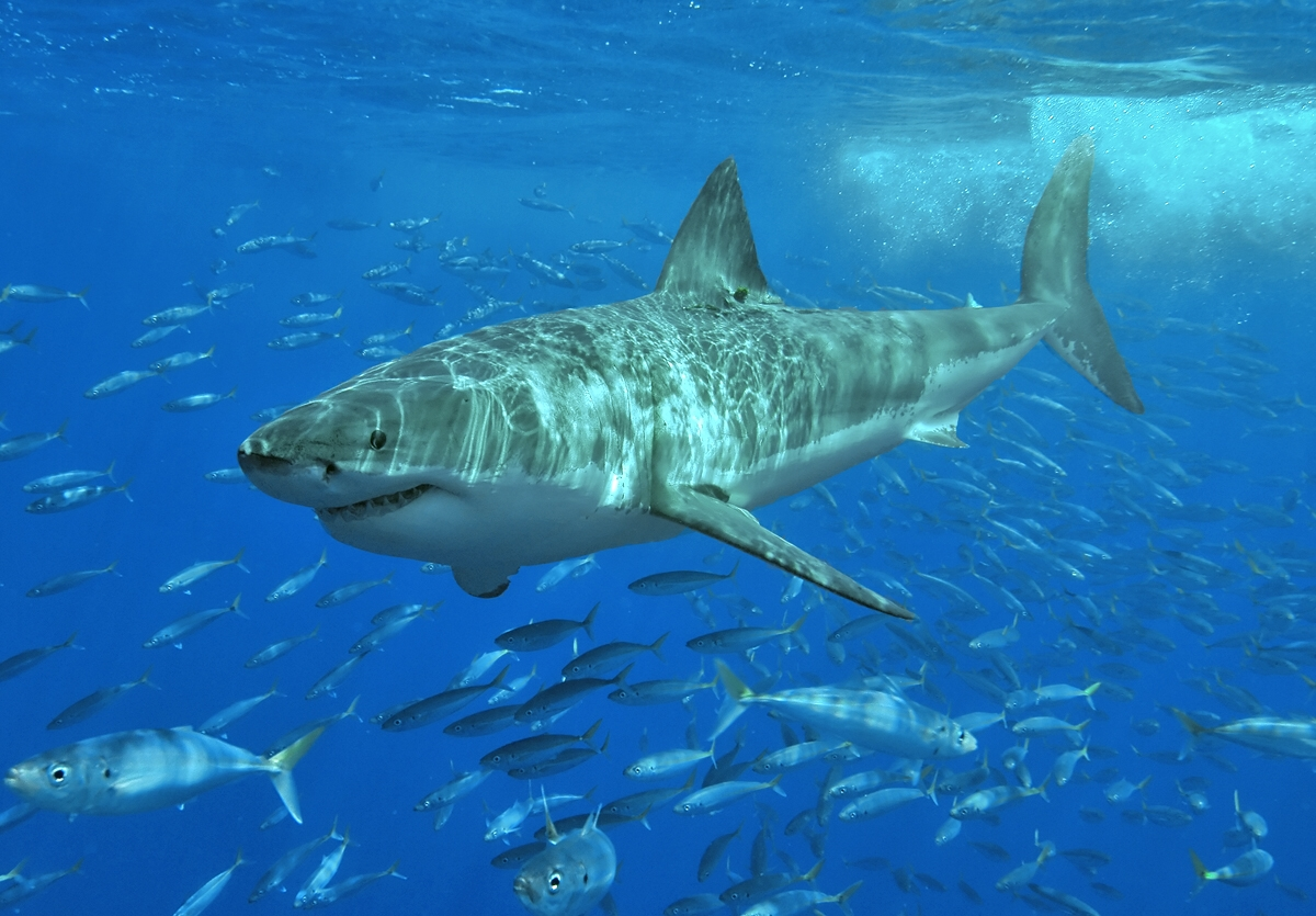 Image: Are New Zealand's big sharks in big trouble?