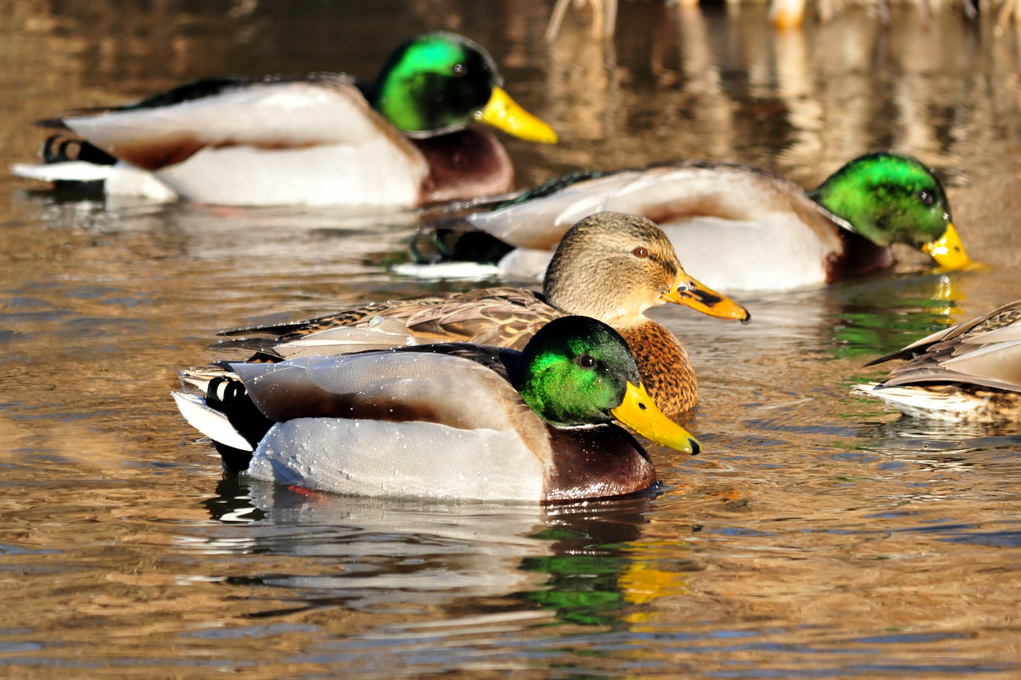 Featured image: Ducks, domestication, and selection's signature