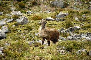 Featured image: Thoughts about tahr