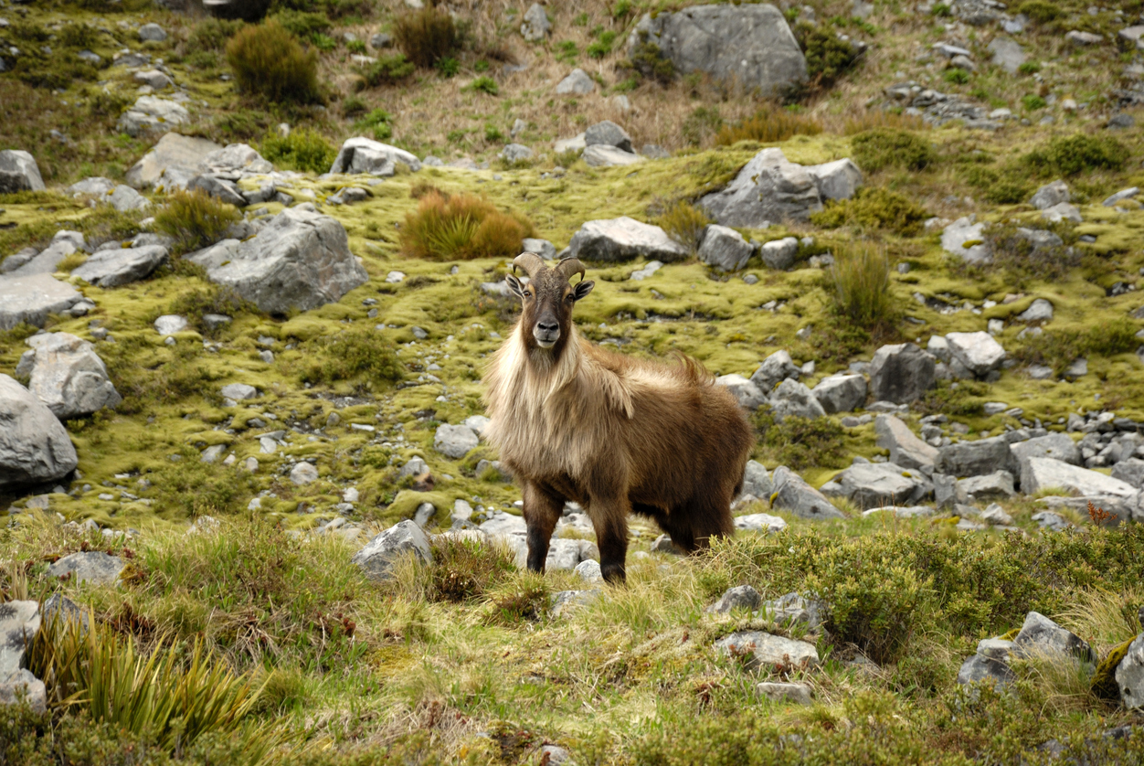 Image: Some thoughts on the current tahr debate