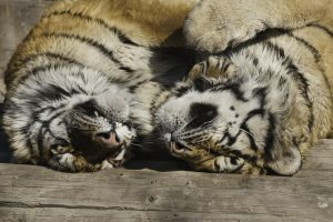 Featured image: Trading tigers