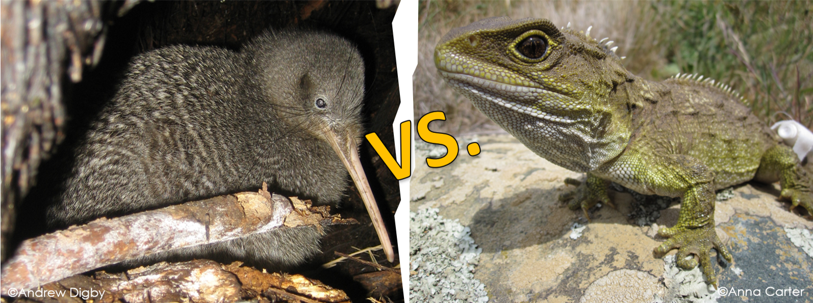 Featured image: Kiwi and tuatara could be ancient foes