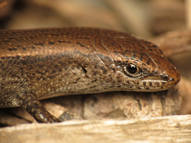 Image: The plague skink: Science or scaremongering?