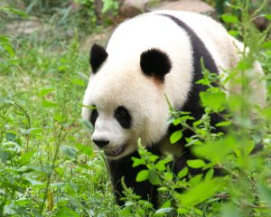 Featured image: Pandas and Bamboo
