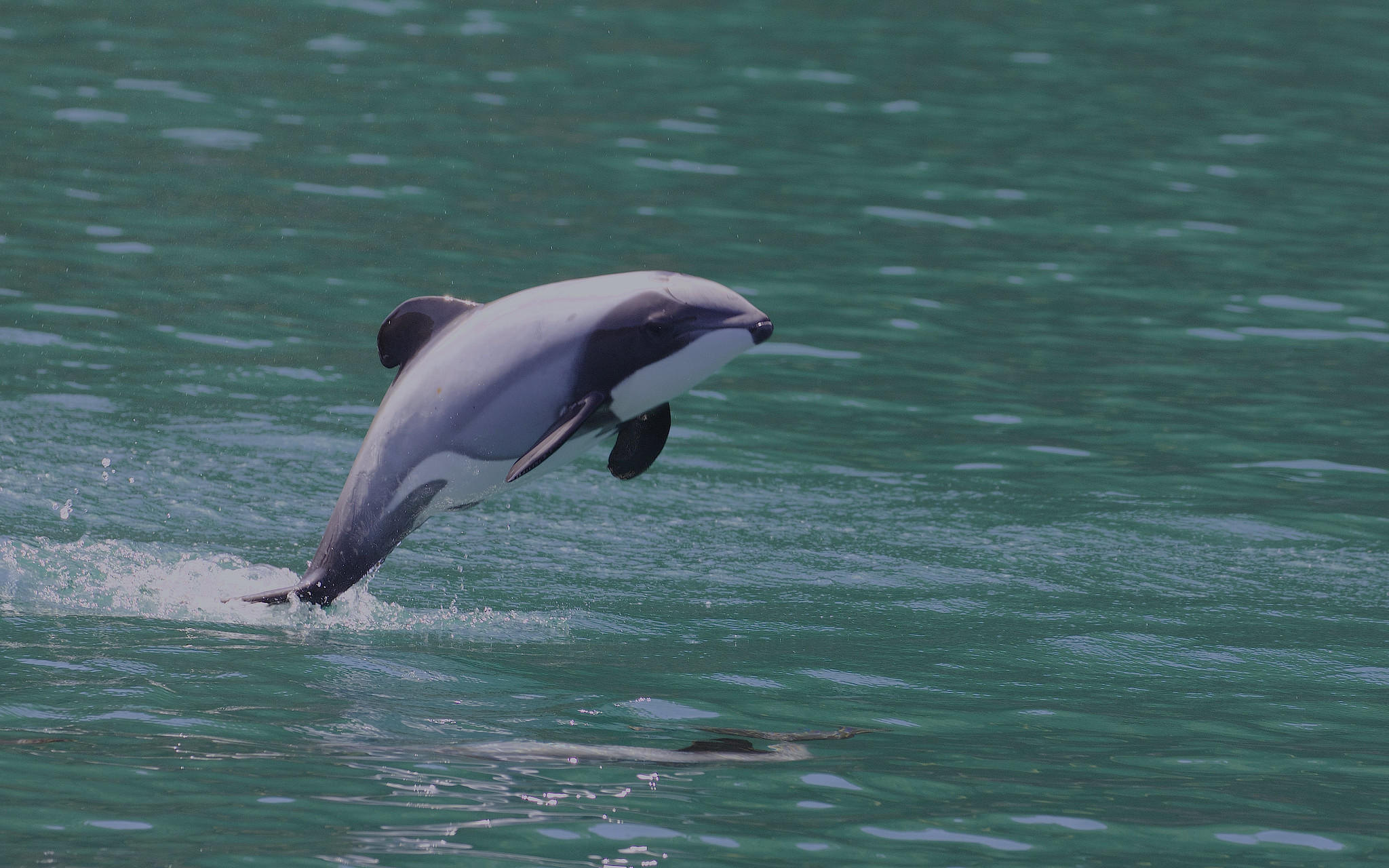 Featured image: Dolphin researchers say NZ's proposed protection plan is flawed and misleading