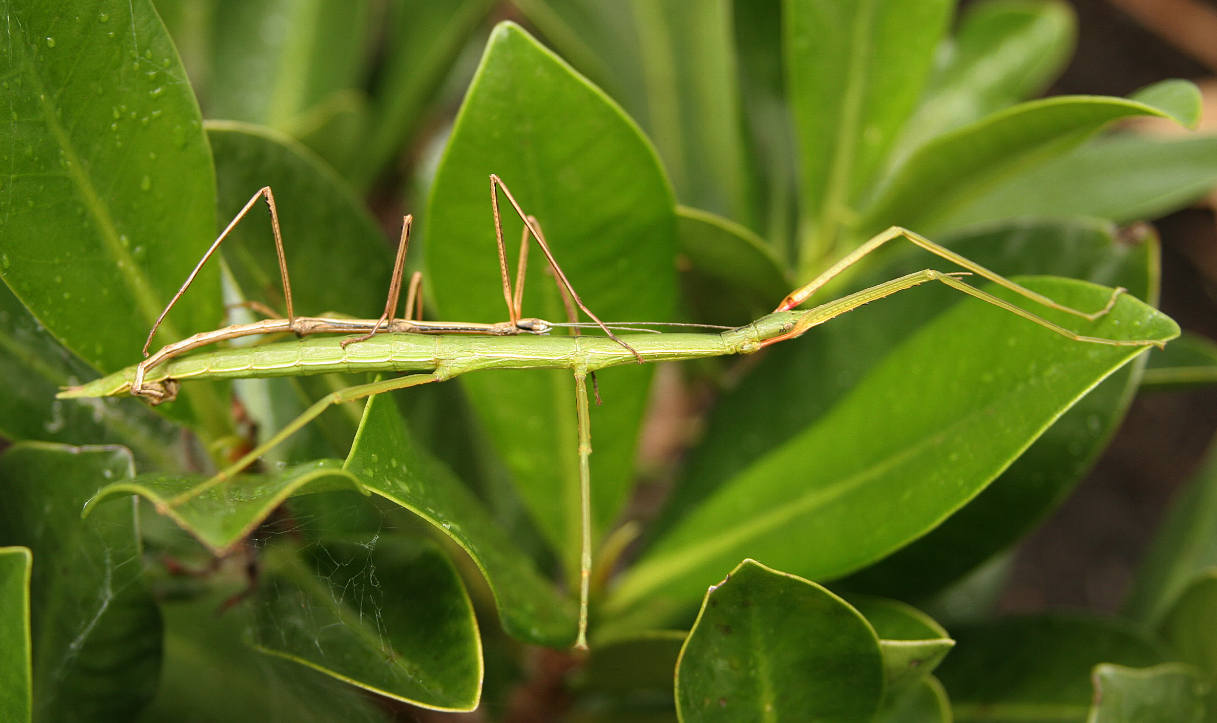Image: The complexity of stick insect genomes and why it could help New Zealand conservation