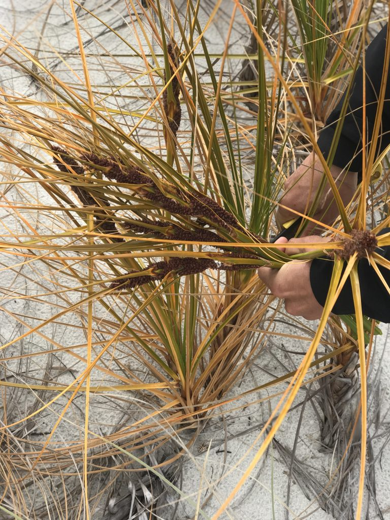 Hands cutting the leaves of a grass-like plant on a sand dune.