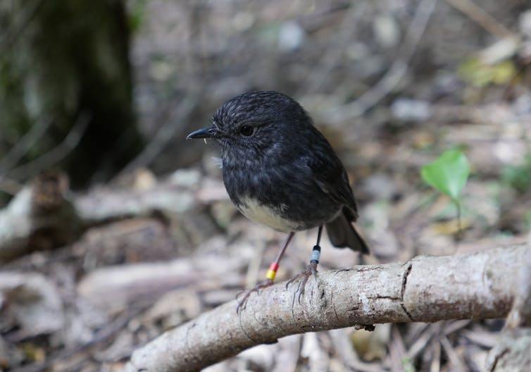 Featured image: A small New Zealand songbird that hides food for later use provides insights into cognitive evolution
