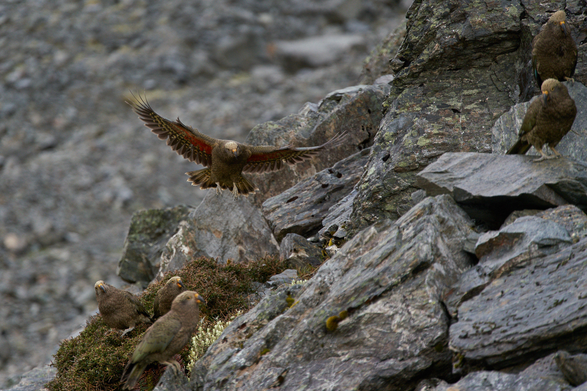 Featured image: Summer in the mountains – return of the kea gangs