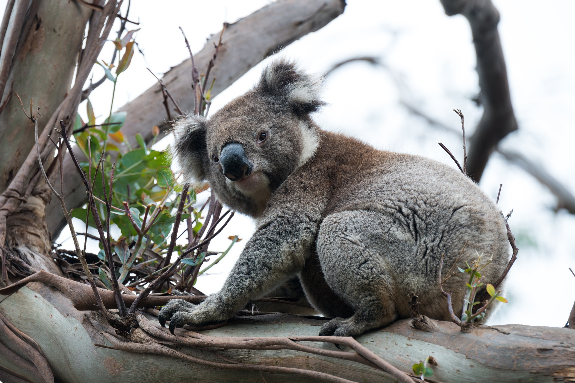 Featured image: Yes, koalas are cute – but should we bring them to NZ? Errm, no