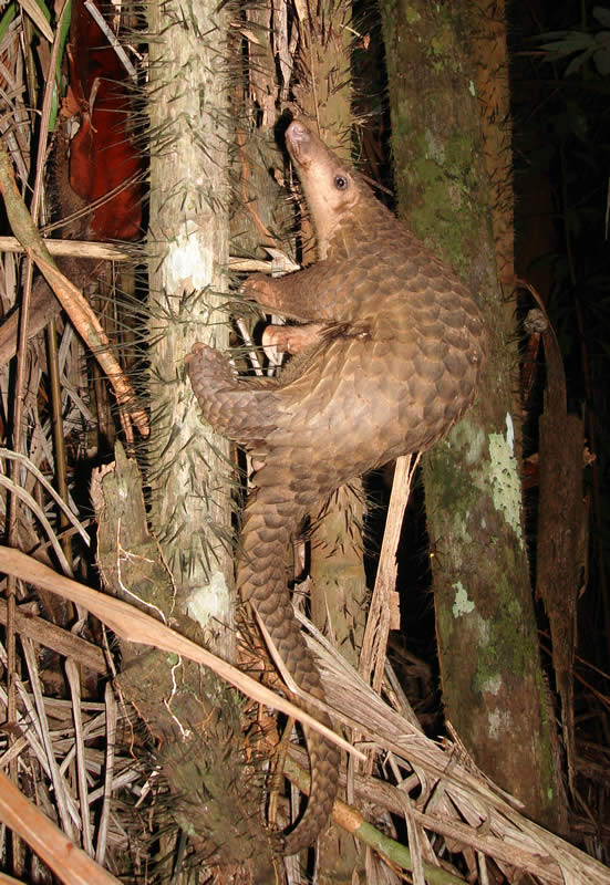 Featured image: Is 2019-nCov a pangolin coronavirus?
