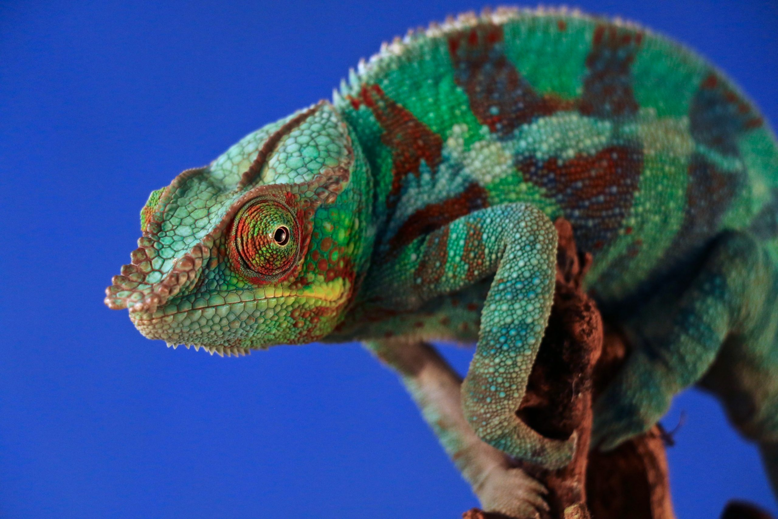 Image: Can Kiwis be better chameleons?