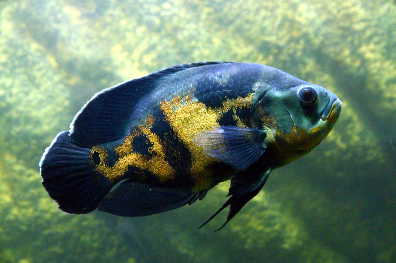 Featured image: A fishy story: midas cichlids in nicaraguan lakes