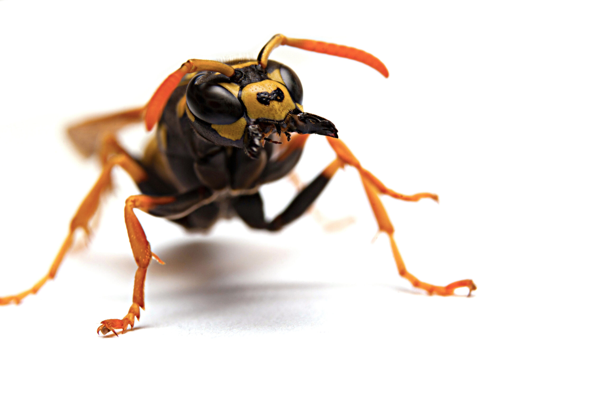 Featured image: Wasps are forever? The potential to eliminate an invasive pest in New Zealand; permissions withstanding
