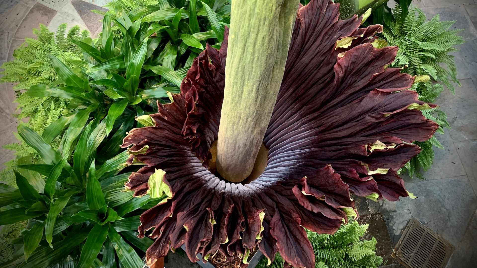 Image: Breathing Life into the Corpse Flower
