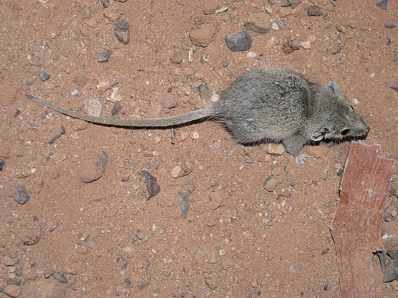 Image: Meet 5 of Australia's tiniest mammals, who tread a tightrope between life and death every night