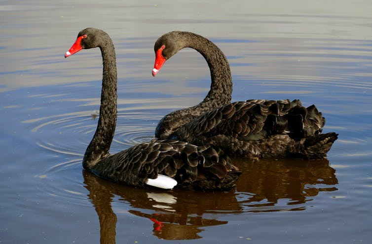 Featured image: Friday essay: a rare bird — how Europeans got the black swan so wrong
