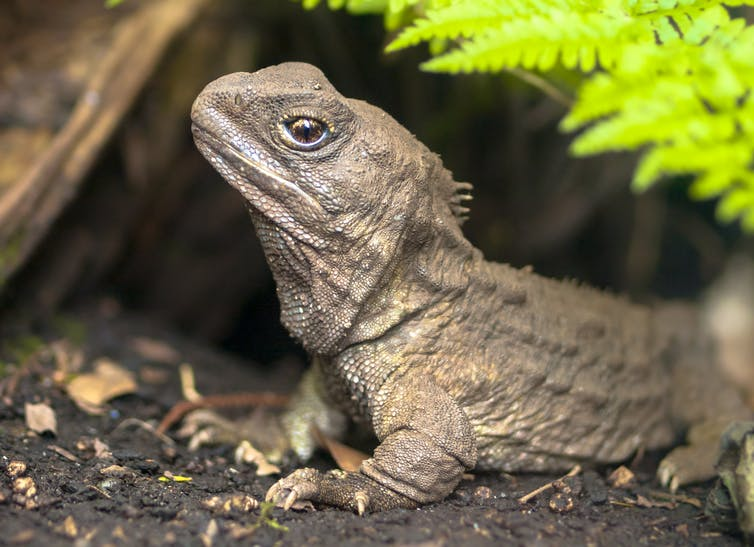 Featured image: Tuatara are ancient, slow and endangered. But their super speedy sperm could boost conservation efforts