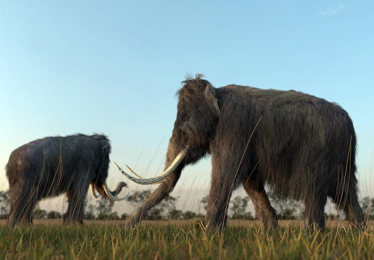 Featured image: Bringing woolly mammoths back from extinction might not be such a bad idea — ethicistsexplain