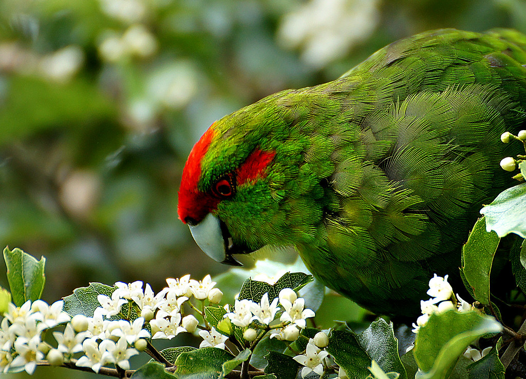 Featured image: Resolving a genetic mash-up: reconstructing an accurate evolutionary history of kākāriki