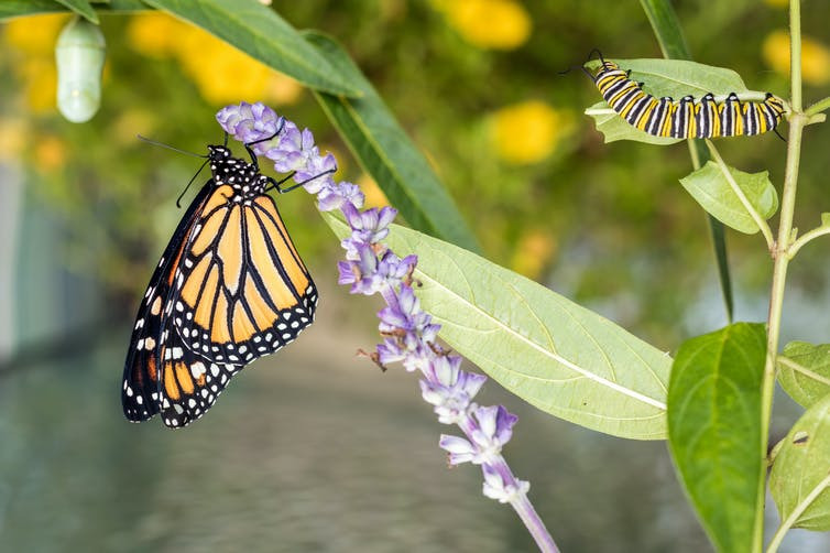 Featured image: Strontium isotopes can map monarch butterfly migrations and help conservation efforts