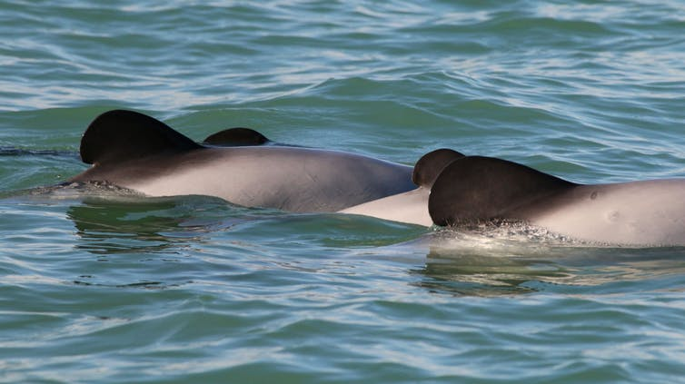 Featured image: The critically endangered Māui dolphin is a conservation priority – we shouldn't let uncertainty stop action to saveit